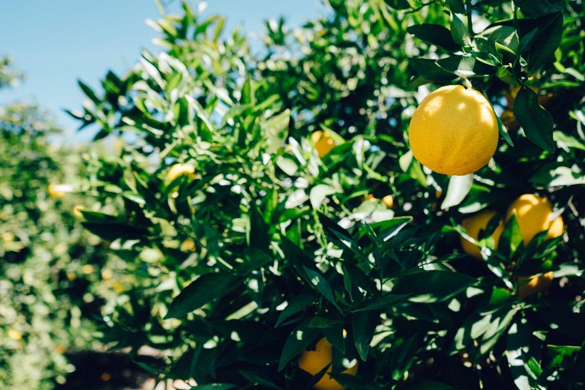 Lemon: the Italian flavor of summer