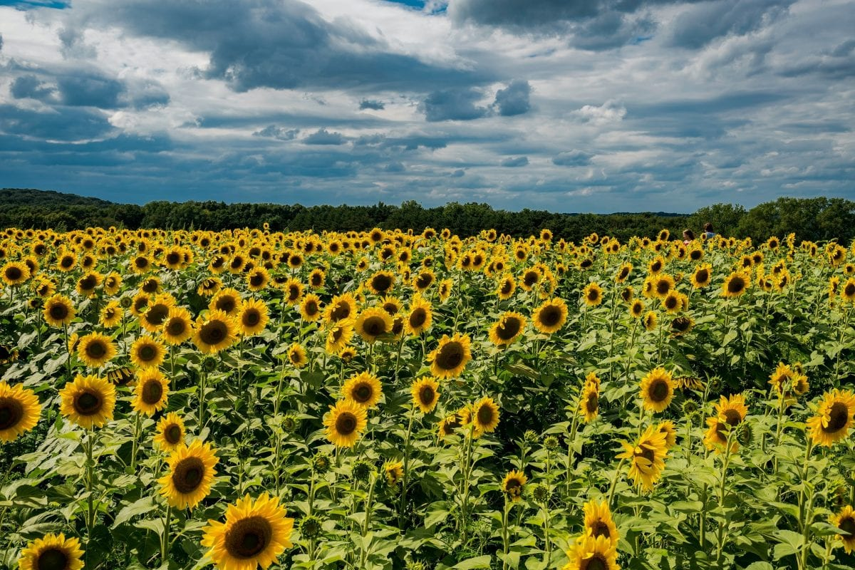 Sunflowers are back in Sardinia and everyone loves them
